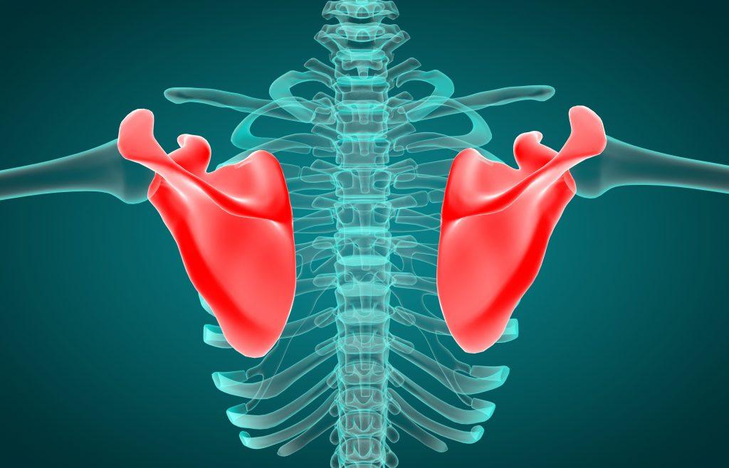 肩甲骨の画像